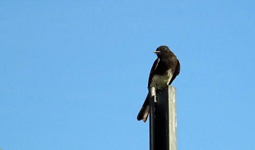 black phoebe sayornis nigricans bird