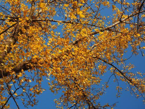 juoda tuopa, medis, tuopa, lapai, ruduo, aukso ruduo, kritimo lapija, palieka rudenį, geltona, auksinis, lapuočių lapai, bustard juodoji tuopa, Kanados tuopa, populus deltoidai, europinis juodas tuoplas, populus nigra, hibridas, dangus, mėlynas