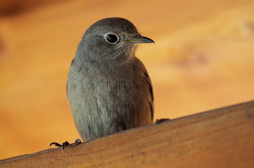 black redstart  bird  nature