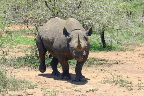 black rhinoceros rhinoceros rhino
