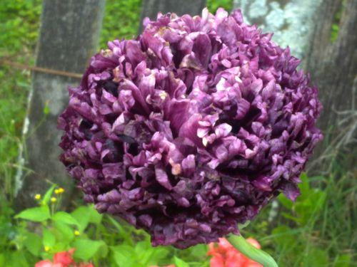 Black Ruffled Poppy