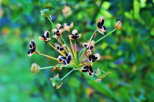 black seeds seeds small