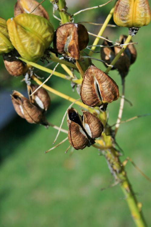sėklos & nbsp, ankštimis, ruda, sėklos, juoda, sėklų ankščių sėklos