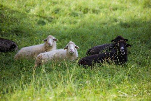 black sheep  white sheep  idyle