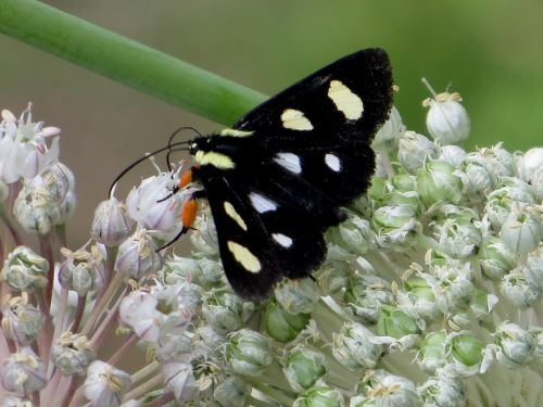 Black Spotted Forester Moth