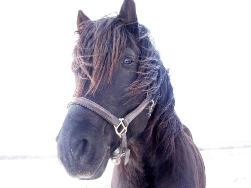 Black Stallion Looking