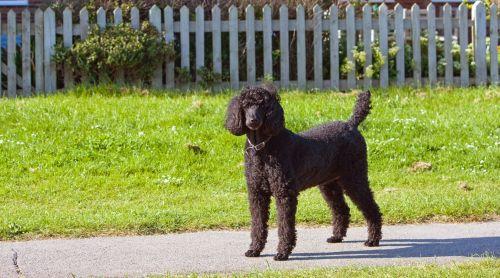 Black Standard Poodle Dog