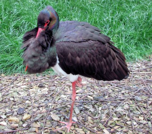 black stork wildlife bird