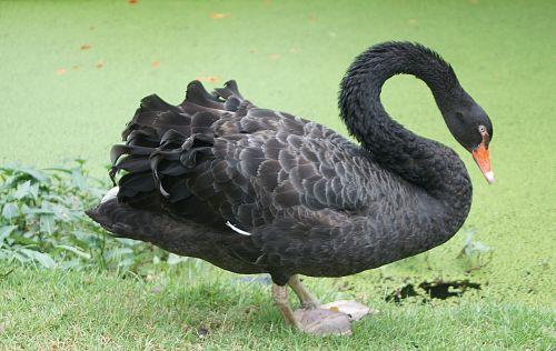 black swan cygnus new