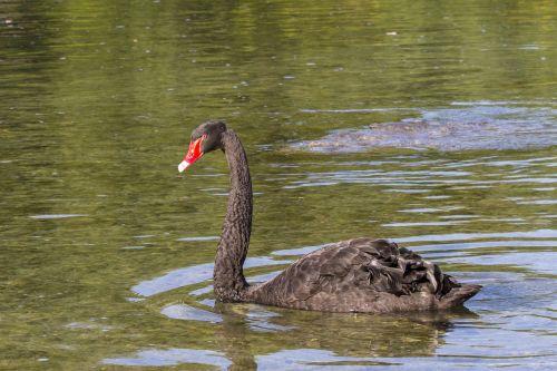 black swan mourning swan swan