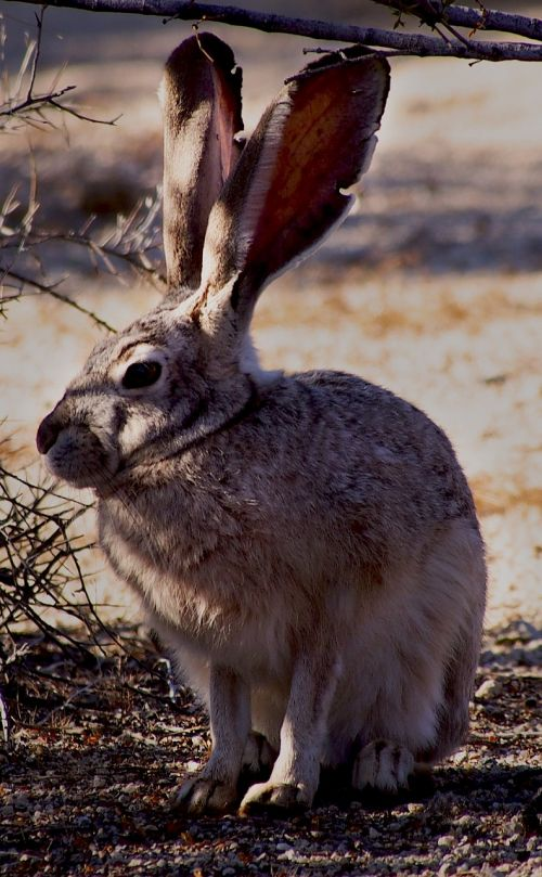 black-tailed jackrabbit bunny outdoors
