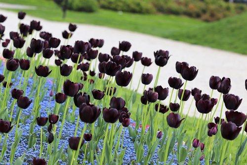 black tulips  blue aubrieta  bloom
