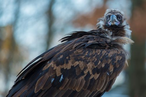 black vulture vulture scavengers