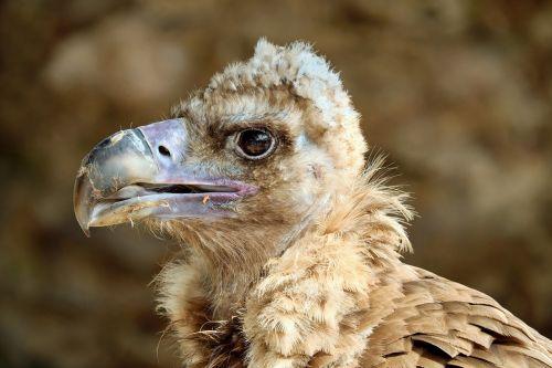 black vulture cowl vulture vulture