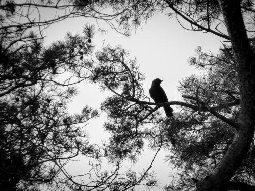 juoda balta,Varnas,ruduo,paukštis,filialai,varnas paukštis,varna,juoda,tamsa,skaitmeninis menas,medžiai,niūrus,šešėlis