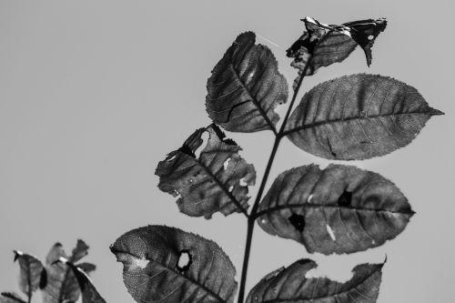 black white leaves sun