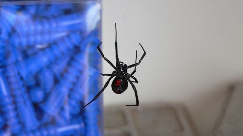 black widow spider venomous