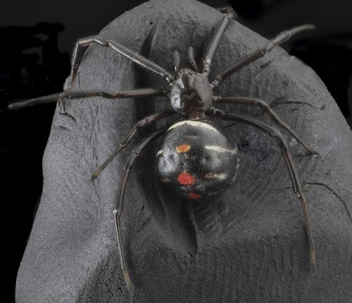 black widow spider arachnid macro