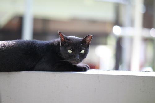Black Wild Cat Taking A Nap