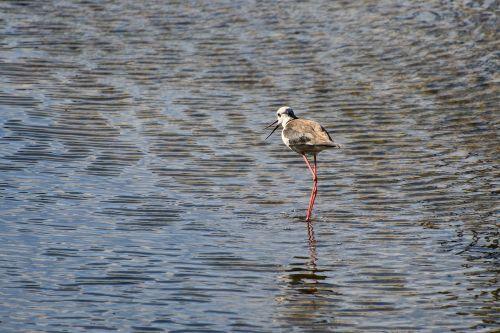 black-winged stilt wader bird