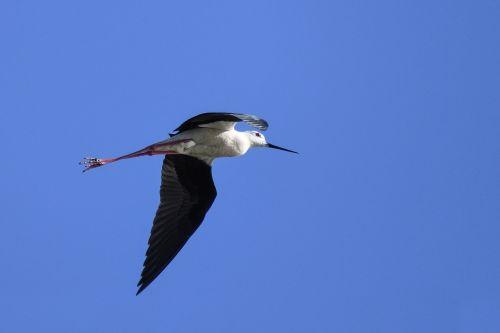 black-winged stilt flight bird