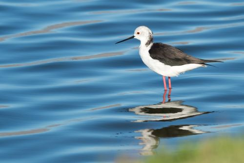 black-winged stilt bird seabird