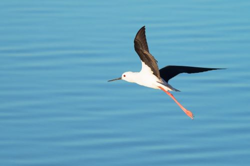 black-winged stilt bird nature
