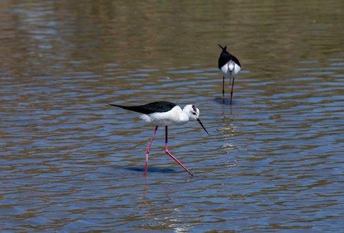 black-winged stilt  birds  wader