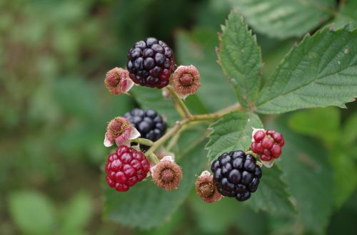 blackberries shrub fruit