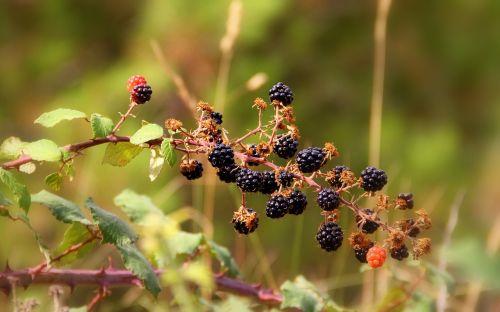 blackberries berries wild