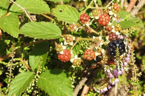 blackberries heide heather
