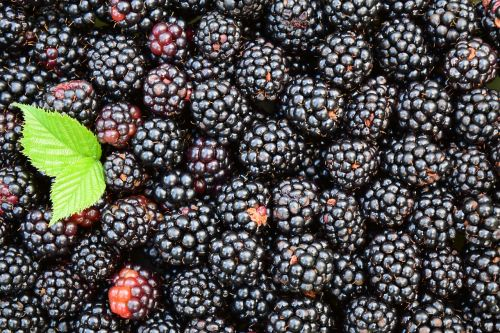 blackberries background black