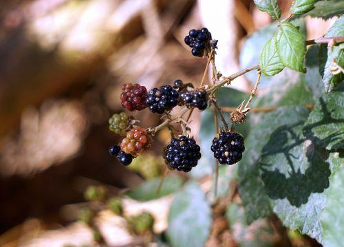 blackberries berries red