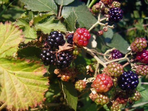 blackberries berries fruits