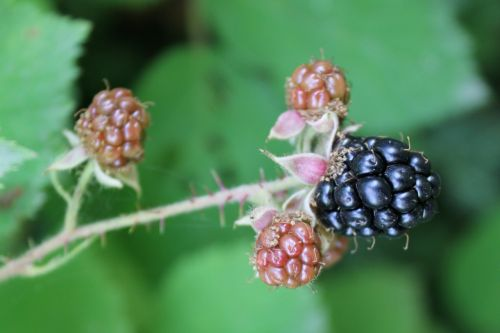 blackberries bush bramble