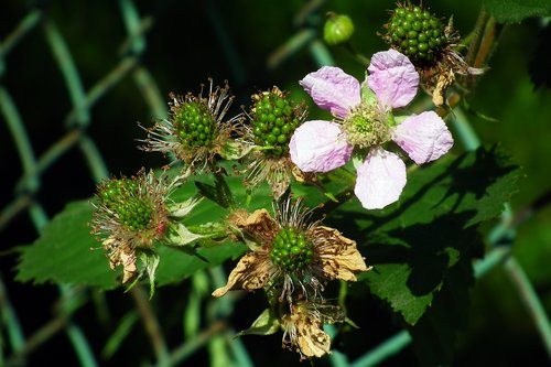 blackberries  flower  nature