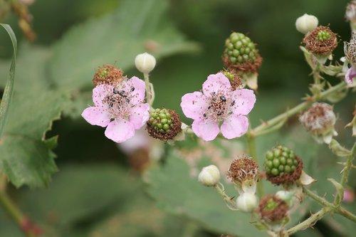 blackberries  blackberry  bramble
