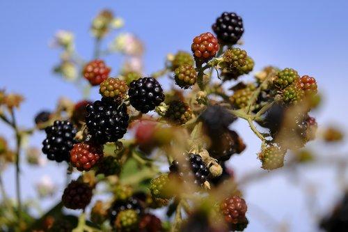 blackberries  berry  bed