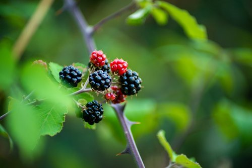 blackberries  fruits  fruit