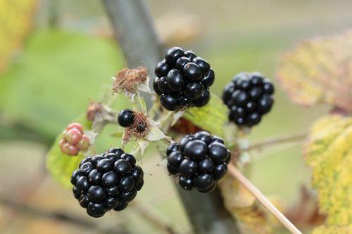 blackberries berries berry fruit