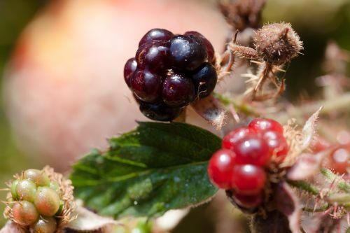 blackberries rubus sectio rubus wildwachsend