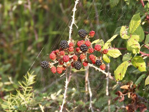 blackberries black and red fruit