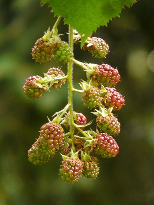 blackberries rubus sectio rubus berries