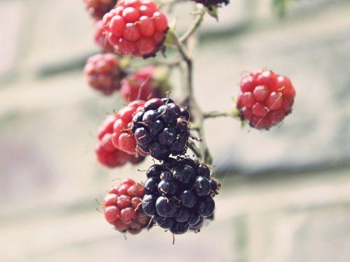 blackberries bramble bush