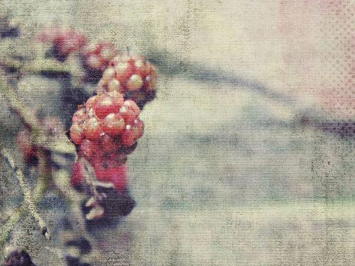 blackberries immature red