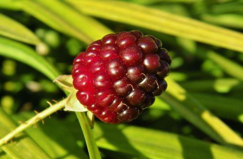 blackberry blackberry bush berry