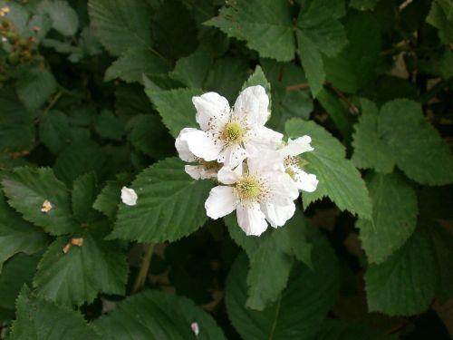 blackberry white flowers rosaceae