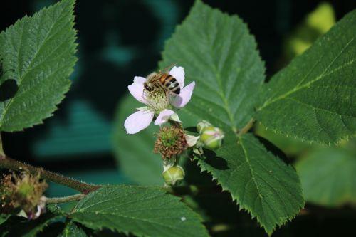 blackberry blossom bloom