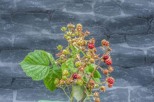 blackberry fruit nature