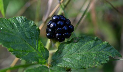 blackberry rubus blackberry leaves